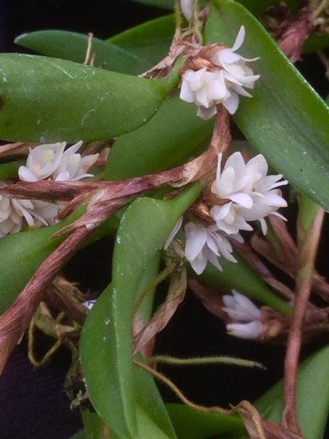 Ceratostylis lancifolia