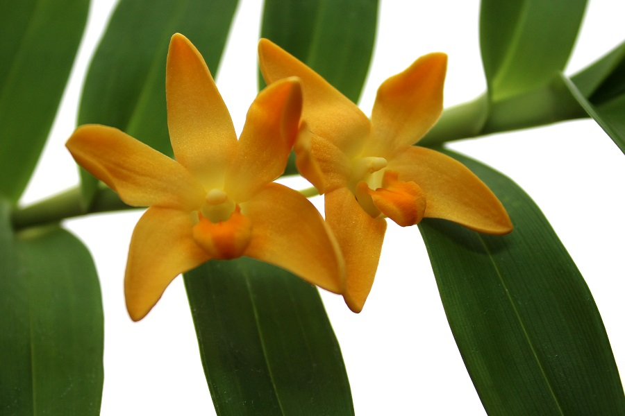 Dendrobium igneum