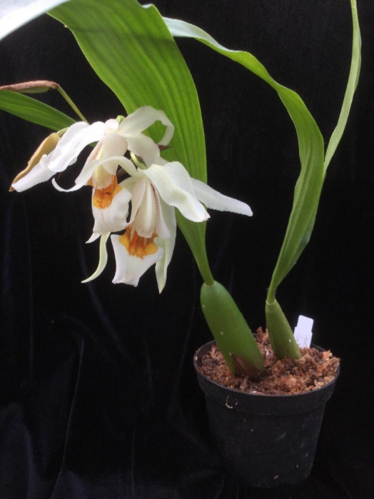 Coelogyne Linda Buckley (mooreana x cristata)