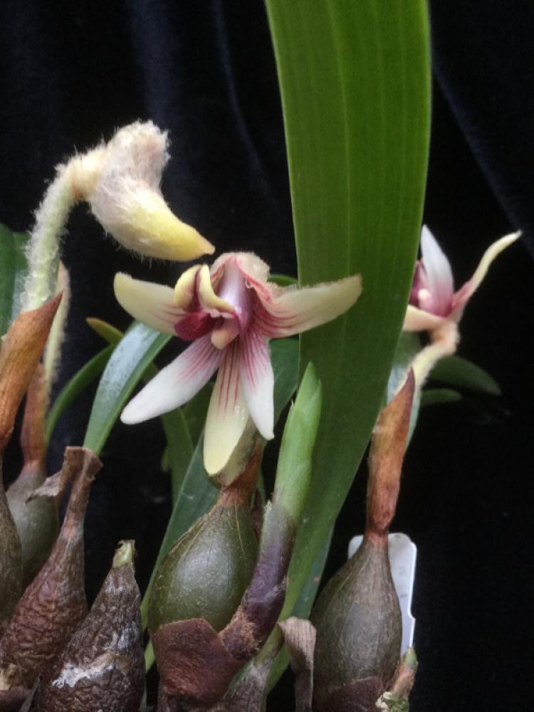 Eria longipes