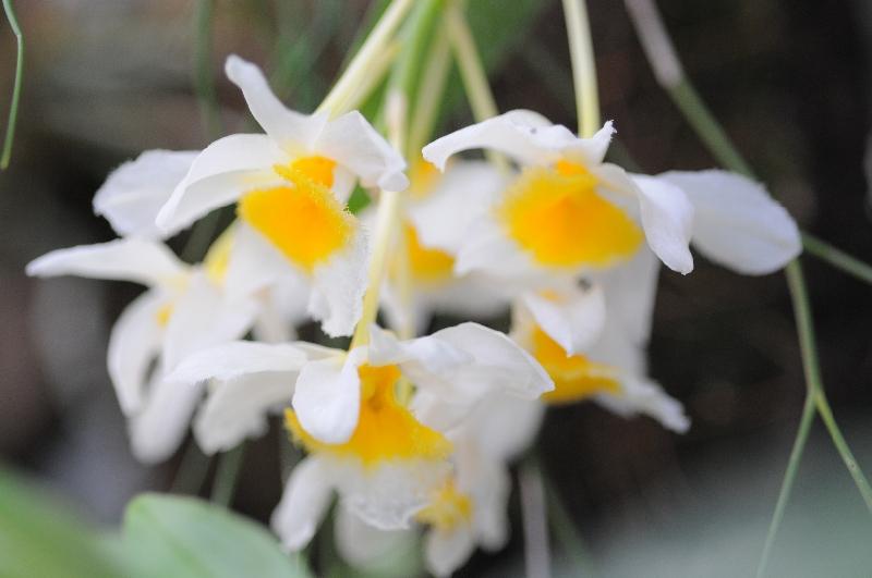 Dendrobium farmeri(Ampel)