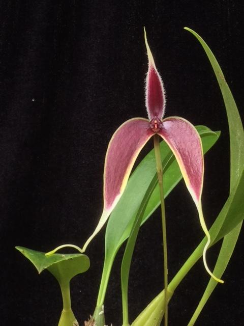 Bulbophyllum masdevalliaceum