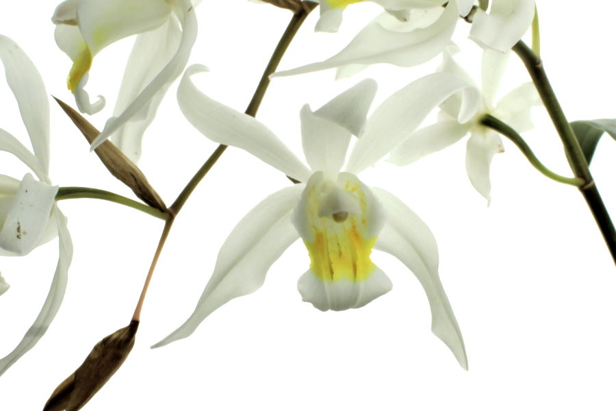 Coelogyne Intermedia (cristata x tomentosa)