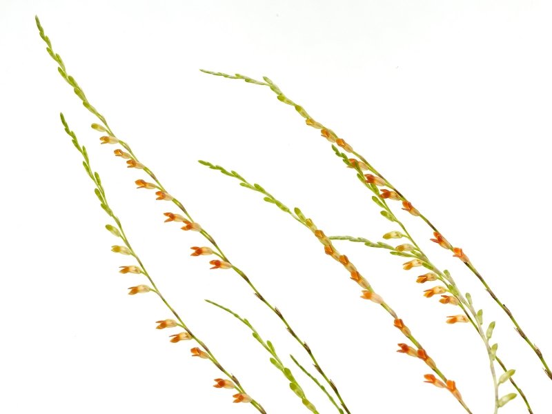 Physosiphon tubatus orange (aufgebunden)