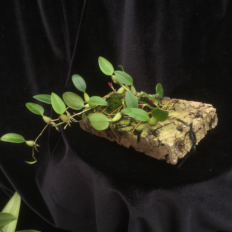 Bulbophyllum comberi (aufgebunden)
