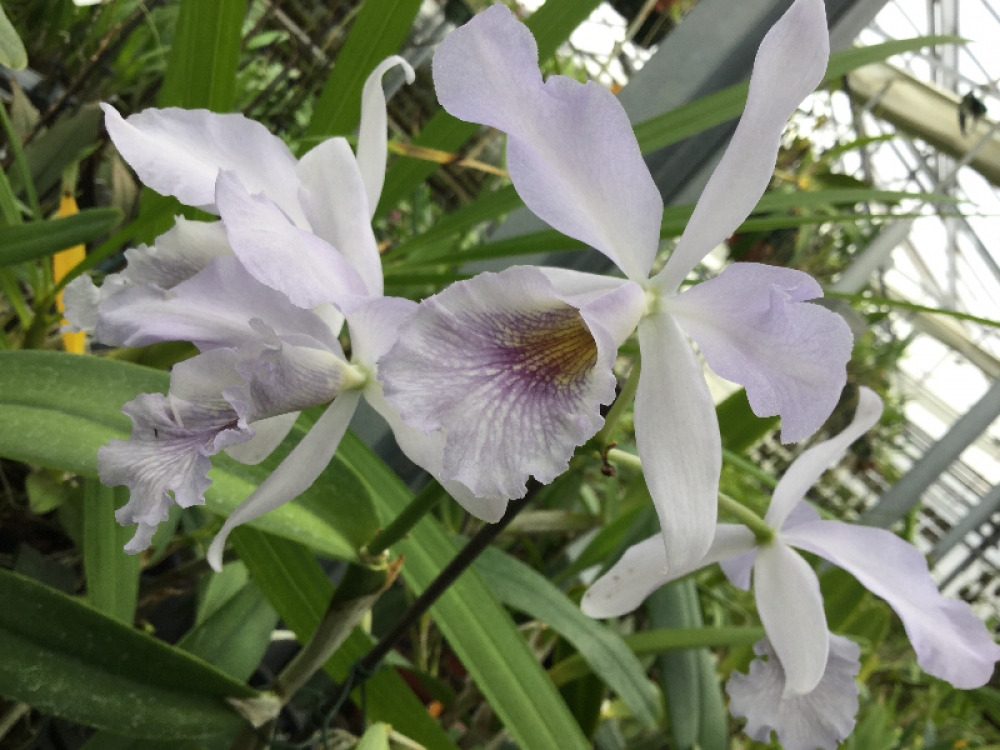 Cattleya maxima coerulea x Cattl.bowringiana coerulea