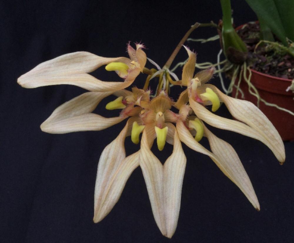 Bulbophyllum annandalei