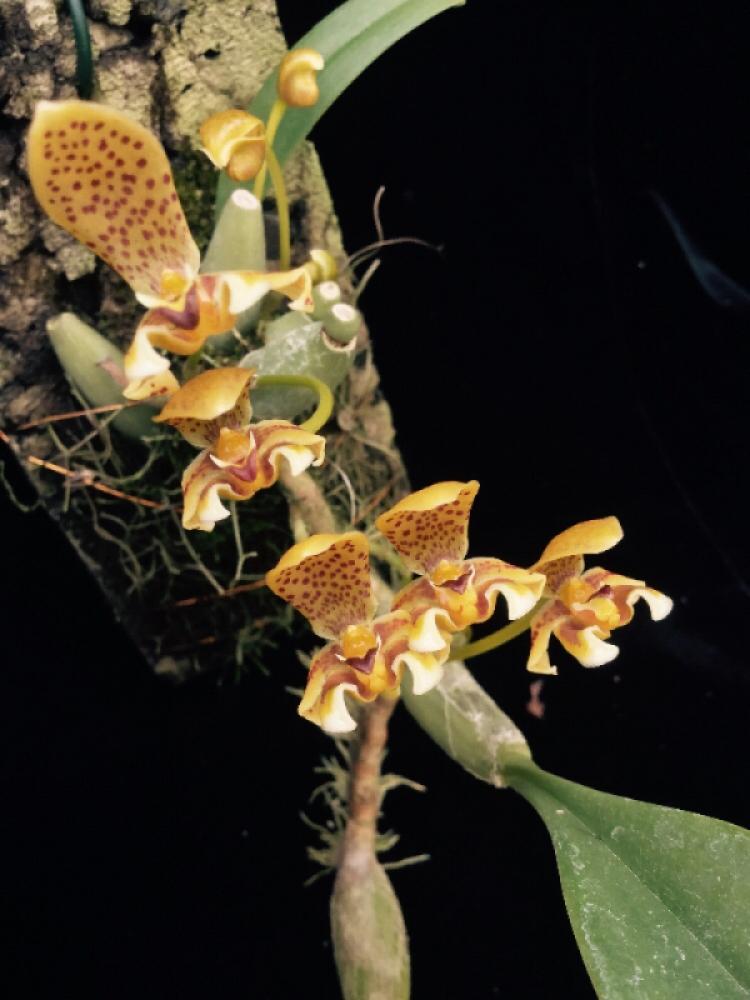 Bulbophyllum pteroglossum