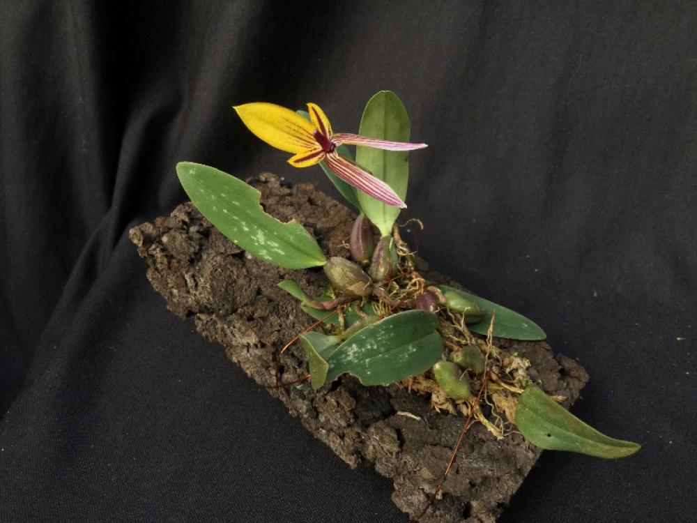 Bulbophyllum bolsteri