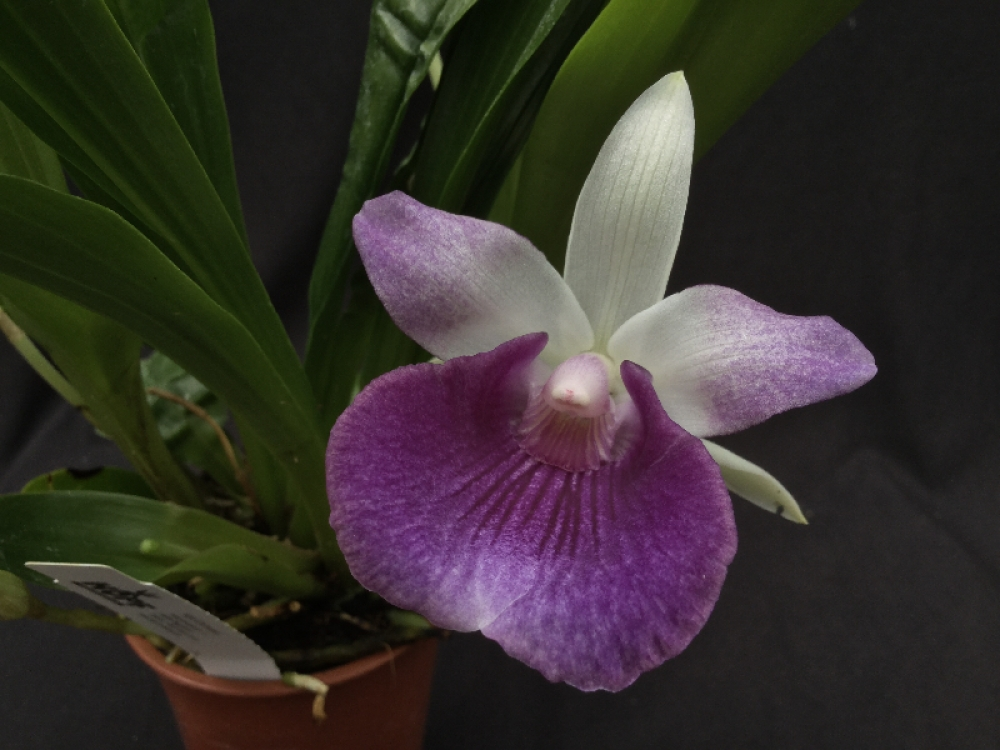 Cochleanthes Hybride blue