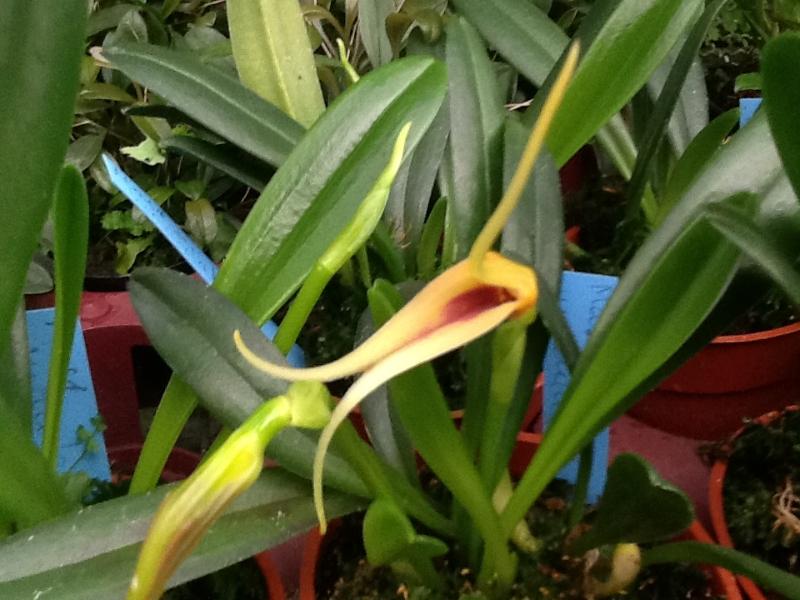 Masdevallia maculata