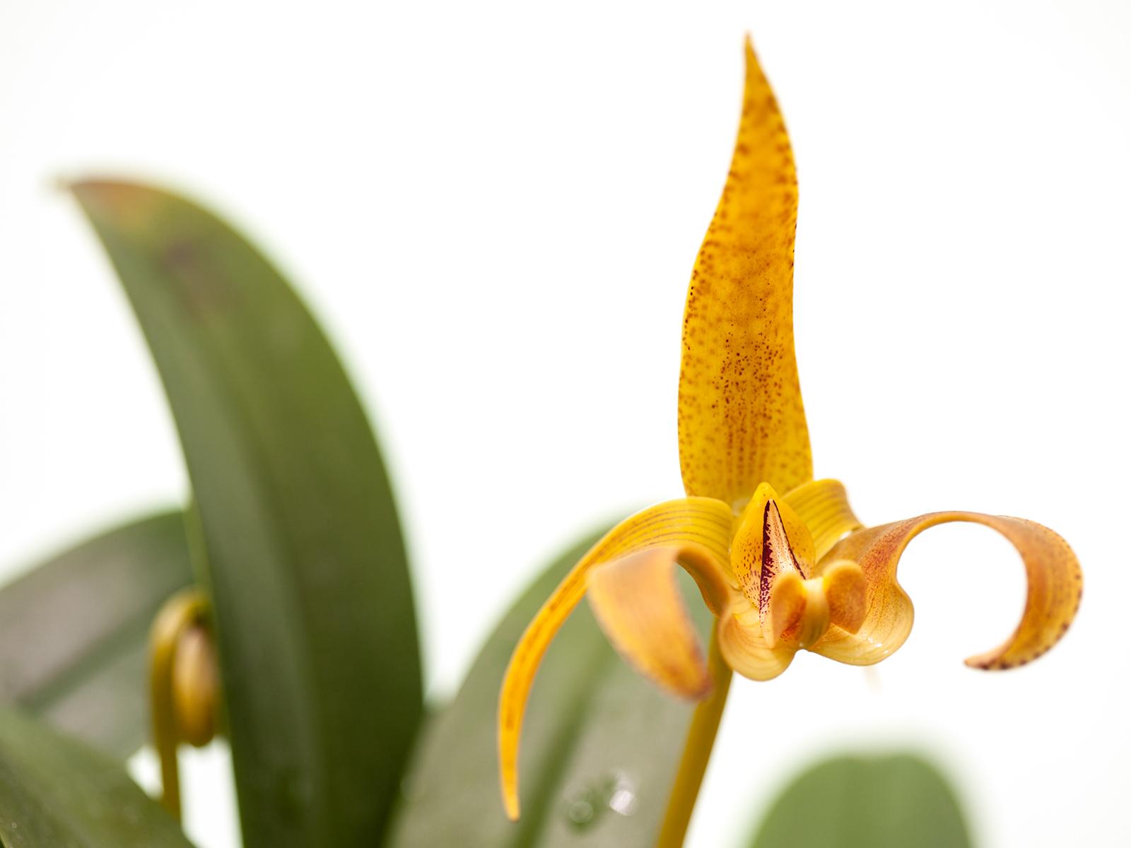 Bulbophyllum lobbii var. polystictum