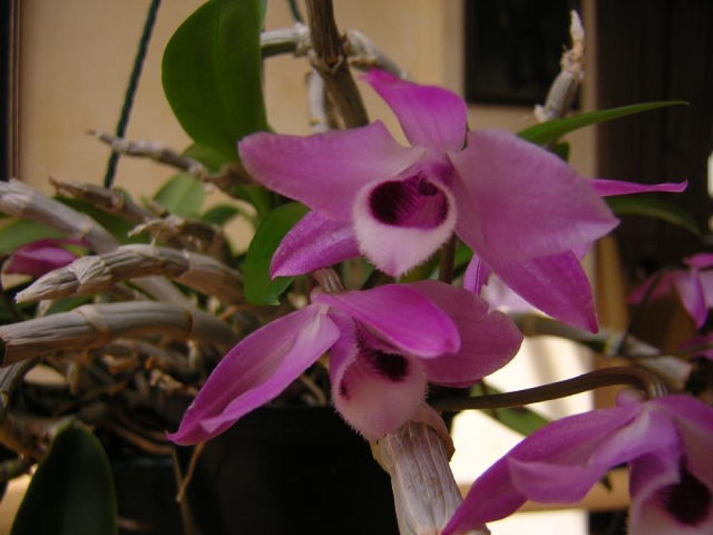 Dendrobium parishii(aufgebunden)