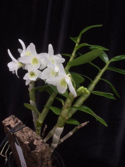 Dendrobium Pocket Lover(aufgebunden)