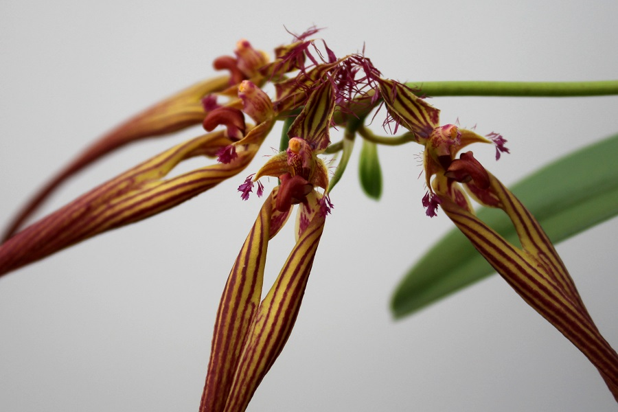 Bulbophyllum wendlandianum