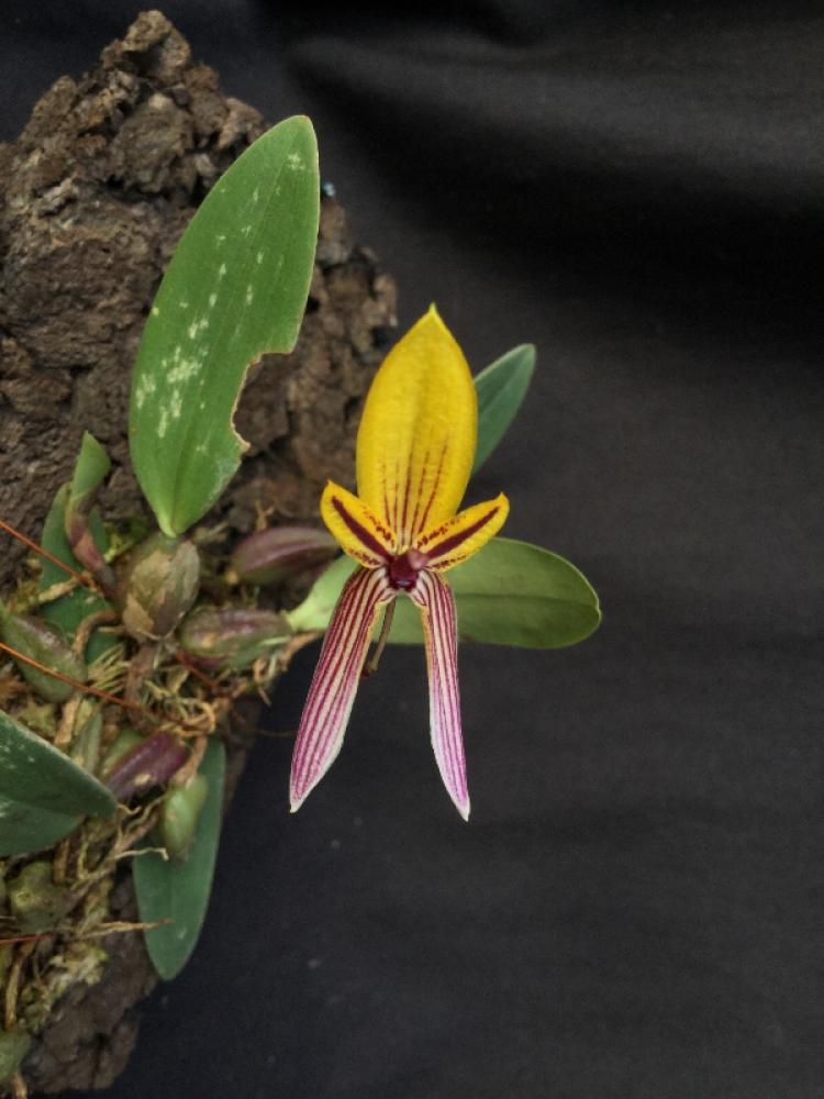 Bulbophyllum bolsteri(aufgebunden)