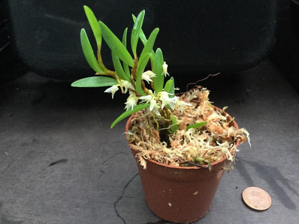 Bulbophyllum mutabile (aufgebunden)