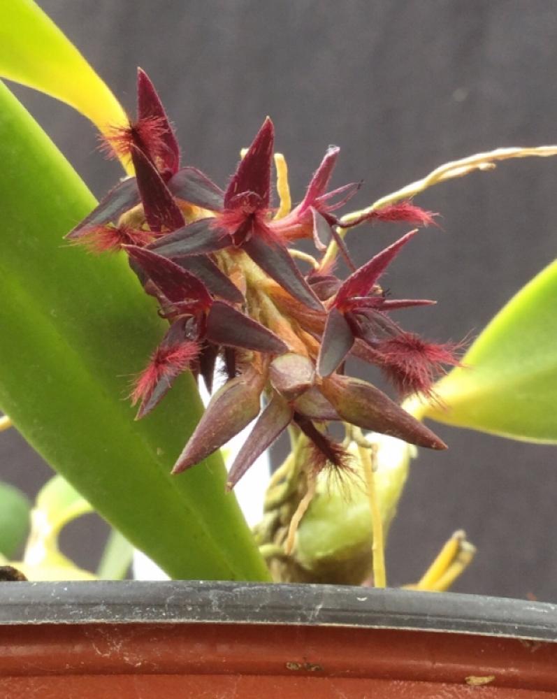 Bulbophyllum saltatorium (aufgebunden)