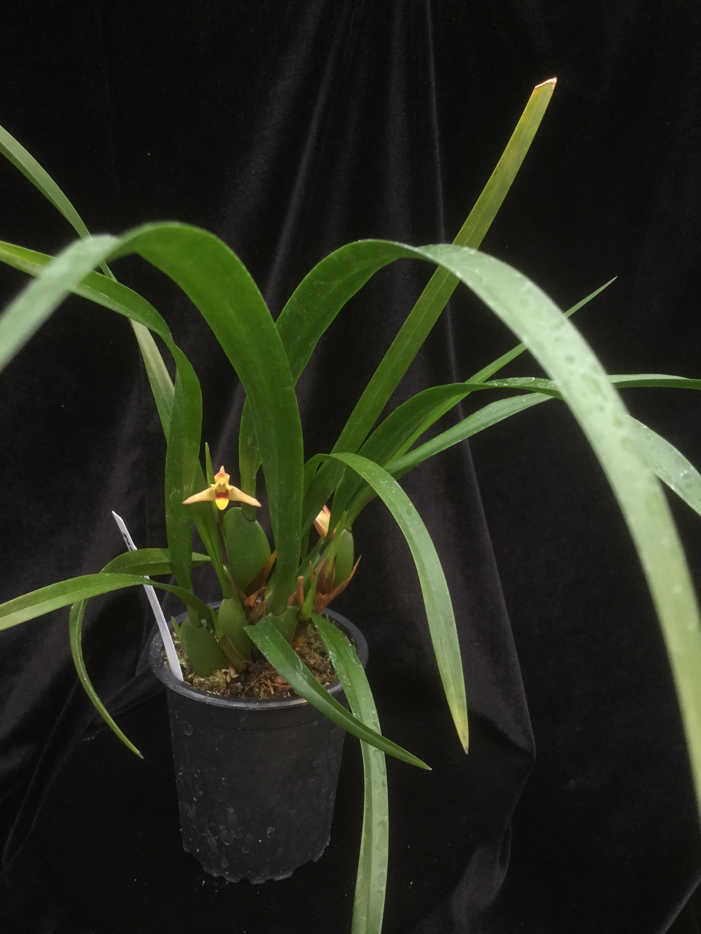 Maxillaria oreocharis