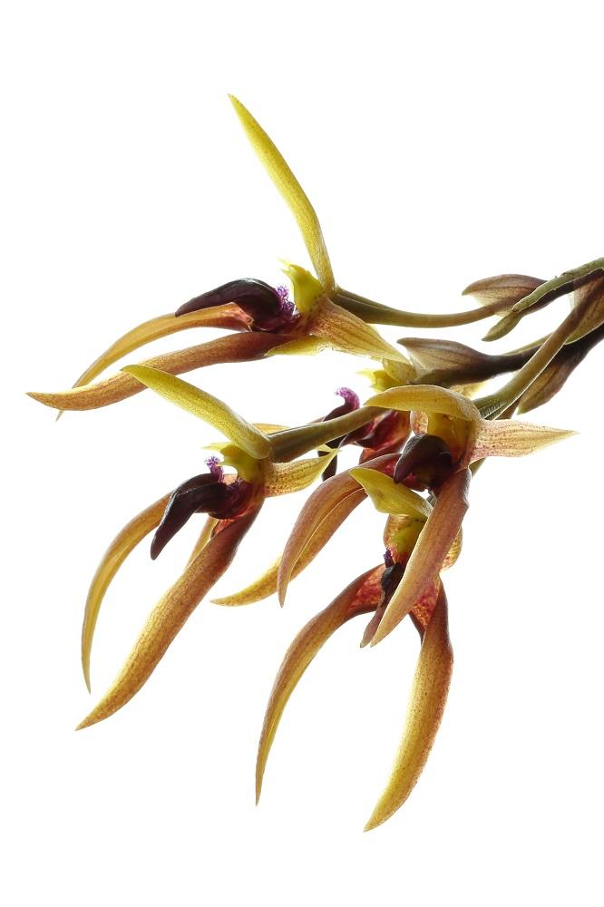 Bulbophyllum trigonosepalum