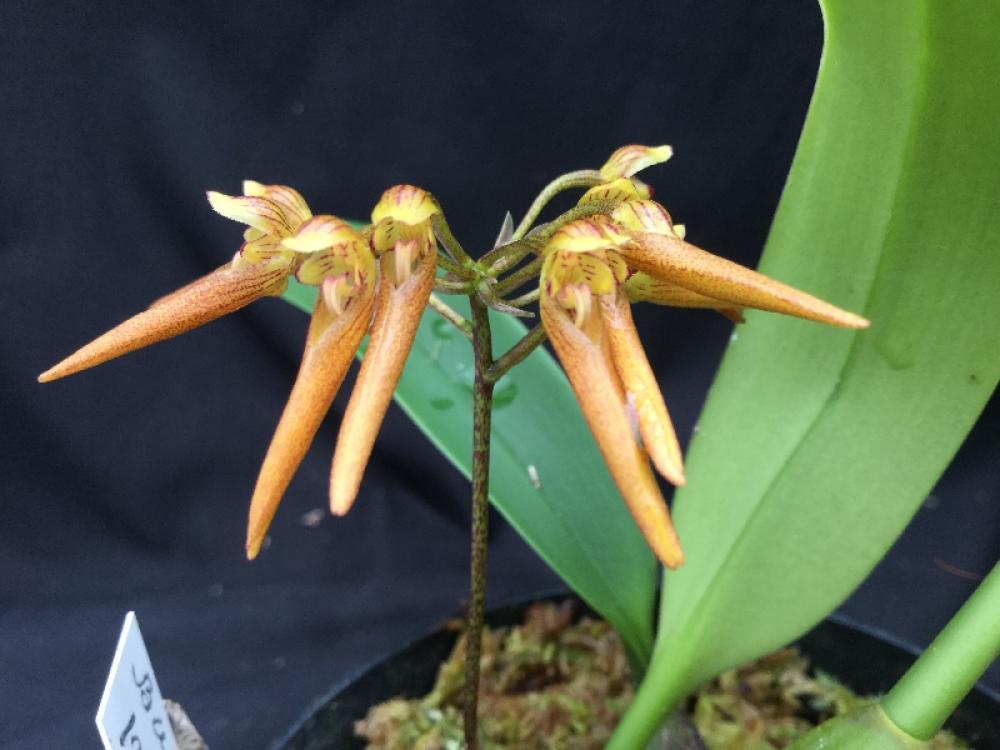 Bulbophyllum helenae (aufgebunden)