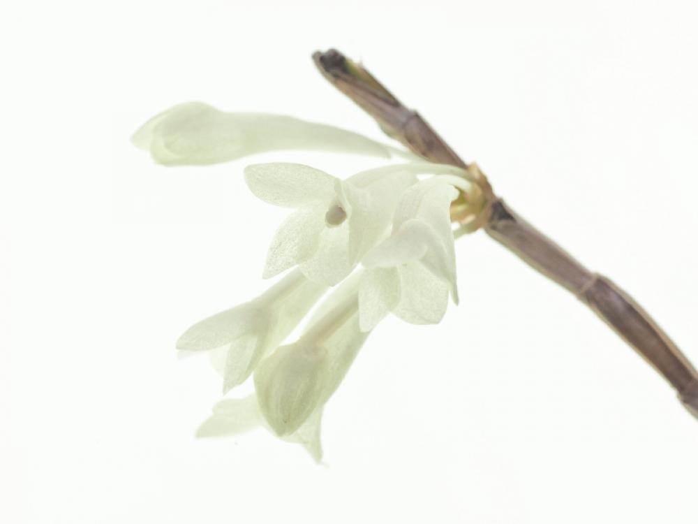 Dendrobium aphanochilum