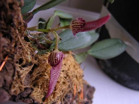 Bulbophyllum mirum(aufgebunden)
