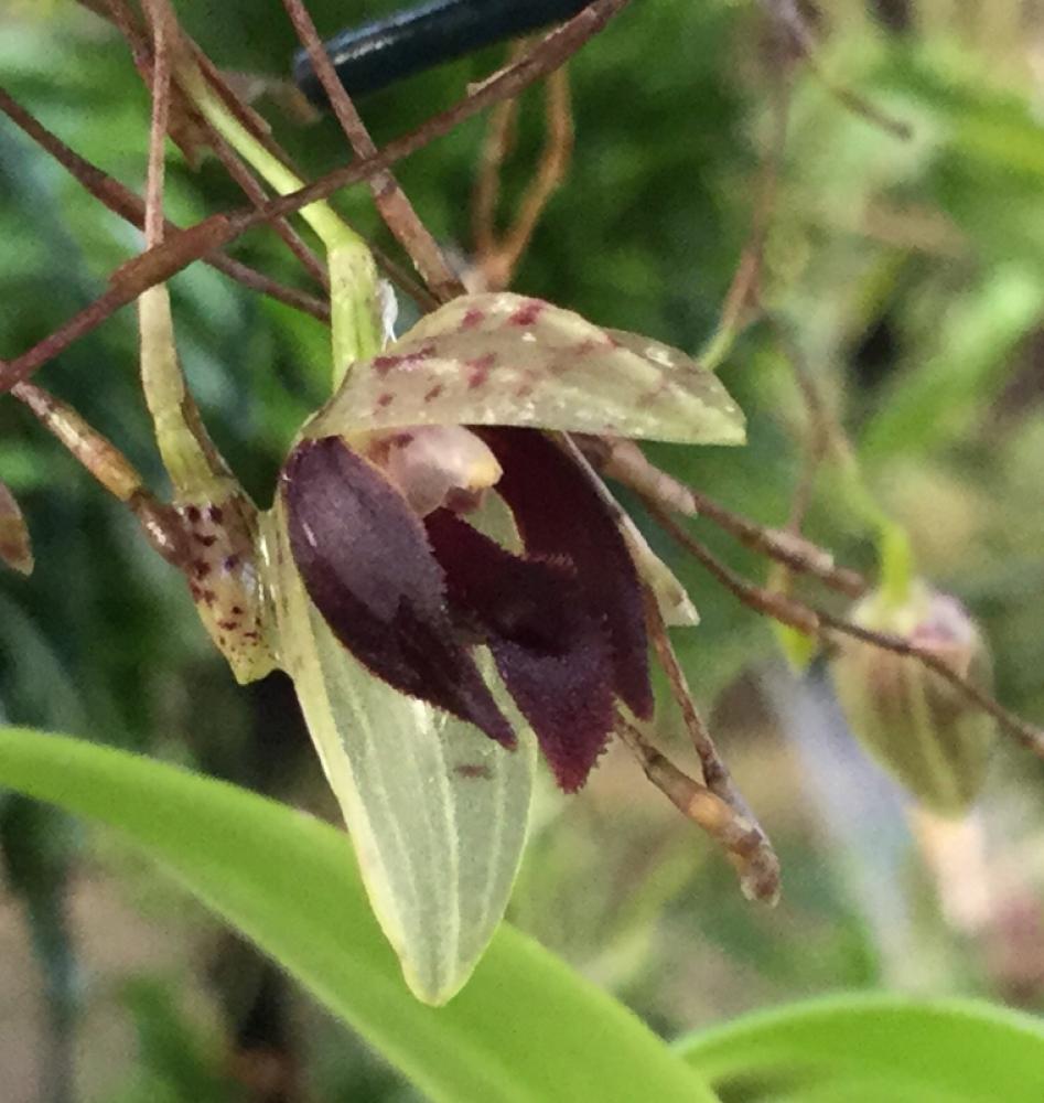 Pleurothallis janetiae (aufgebunden)