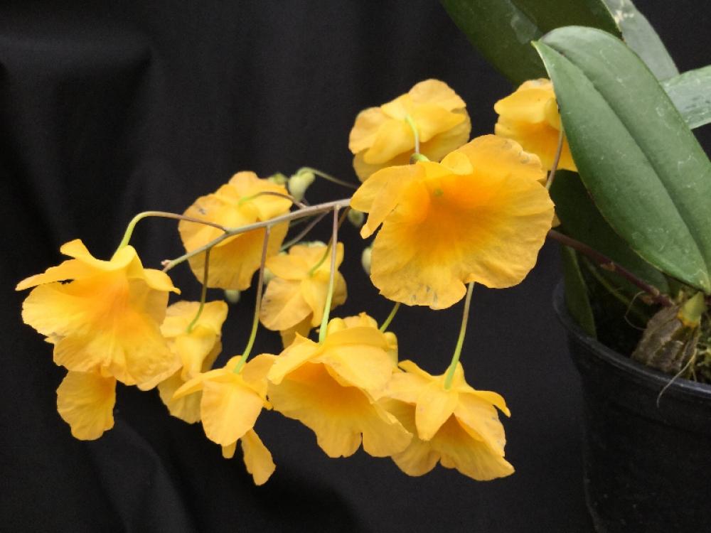 Dendrobium lindleyi(aufgebunden)