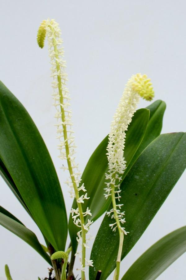 Bulbophyllum braccatum