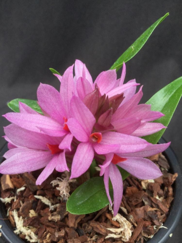 Dendrobium Hibiki x bracteosum