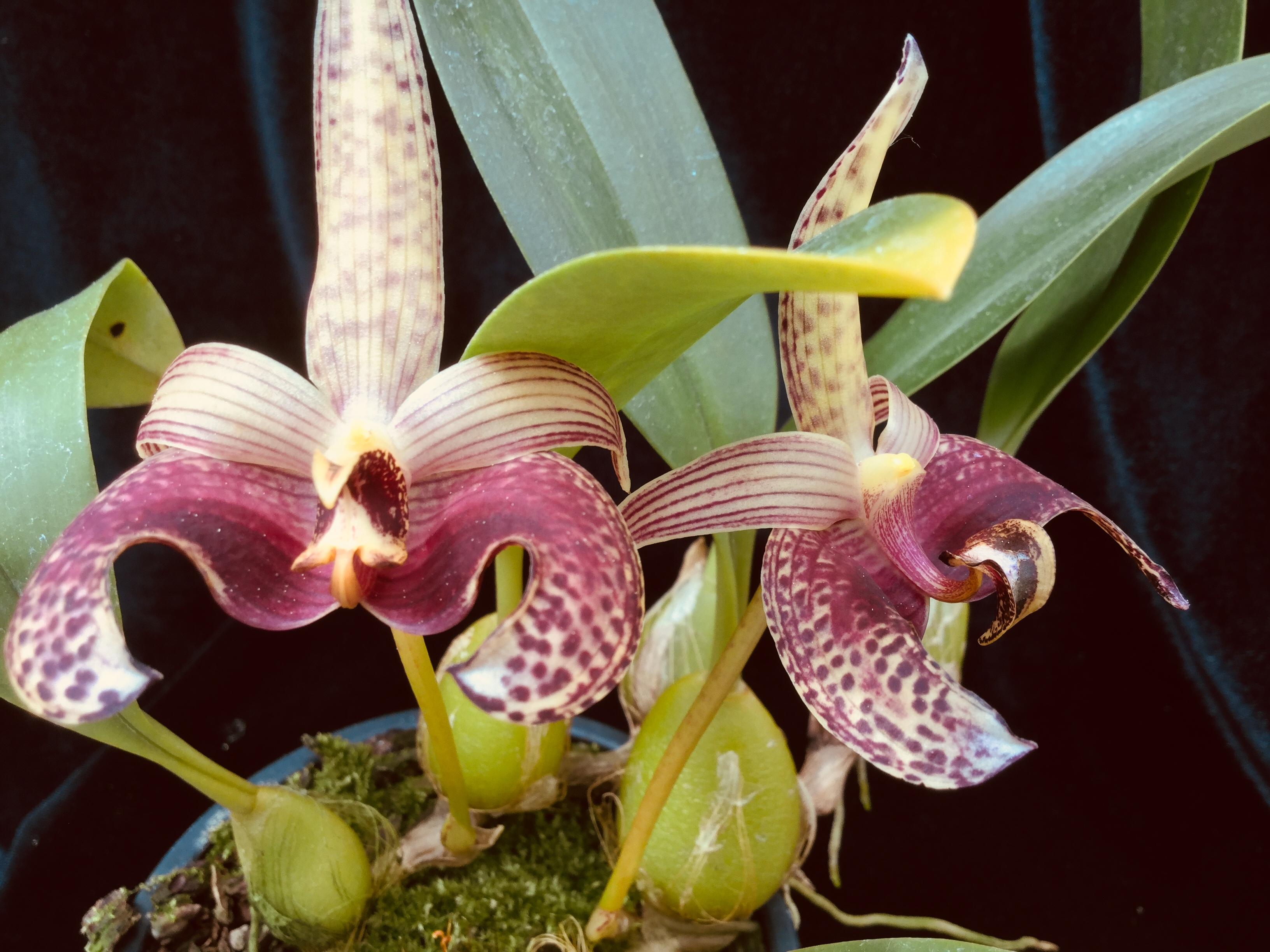 Bulbophyllum sumatranum