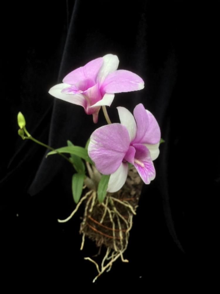 Dendrobium Jairak splash(aufgebunden)