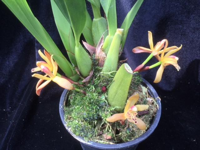 Maxillaria rufescens  duftend