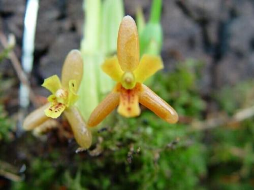 Maxillaria acutifolia (aufgebunden)