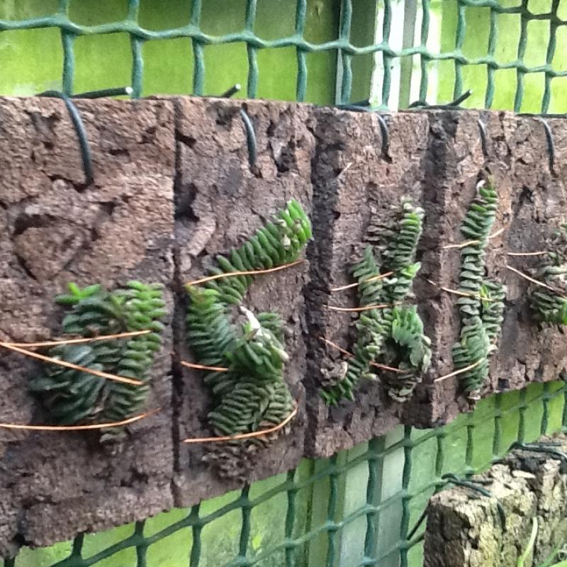 Schoenorchis scolopendria(aufgebunden)