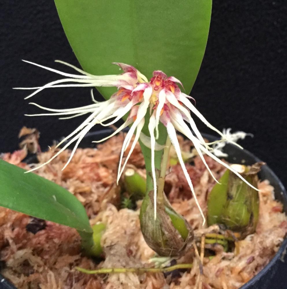 Bulbophyllum Lion King (medusae x mastersianum)