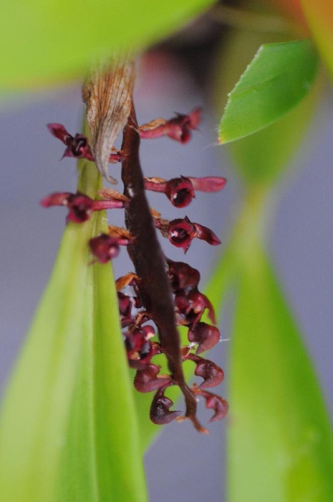 Bulbophyllum bufo (aufgebunden)