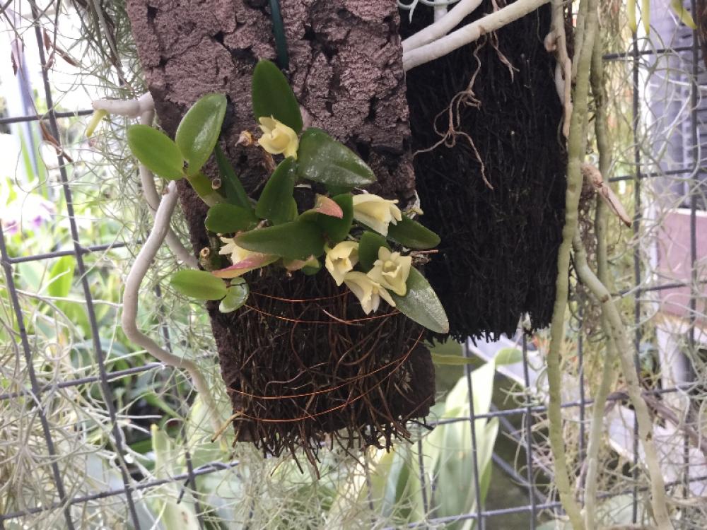 Dendrobium pachyphyllum(aufgebunden)