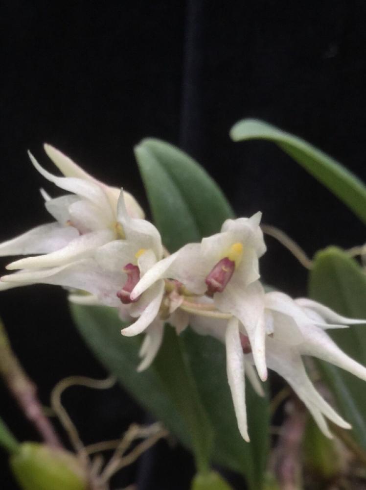 Bulbophyllum acutiflorum