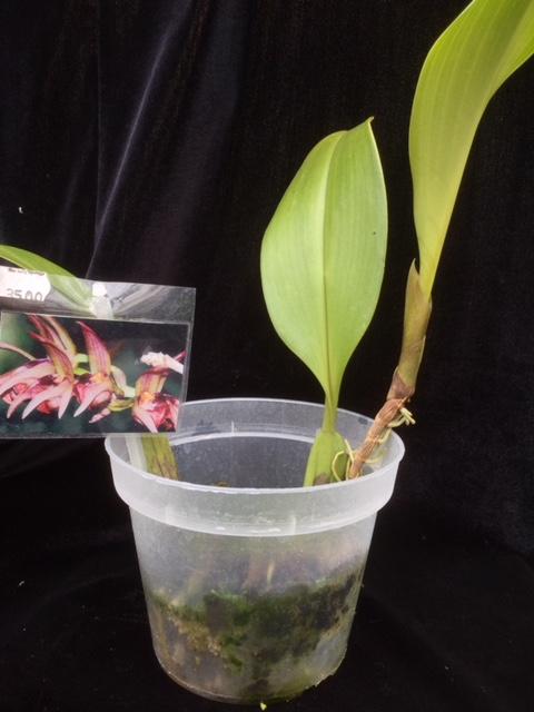 Bulbophyllum aeolium