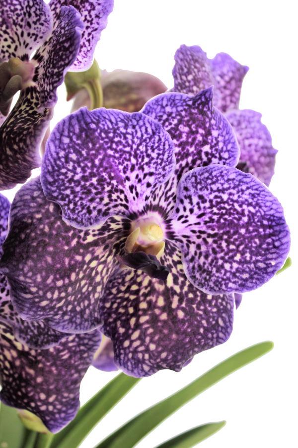 Vanda NITAYA® Violet Blue