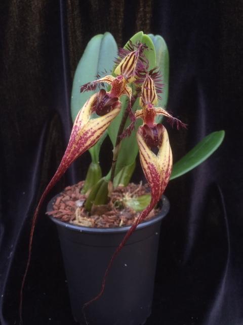 Bulbophyllum Cindy Dukes (rotschildianum x putidum)(aufgebunden)