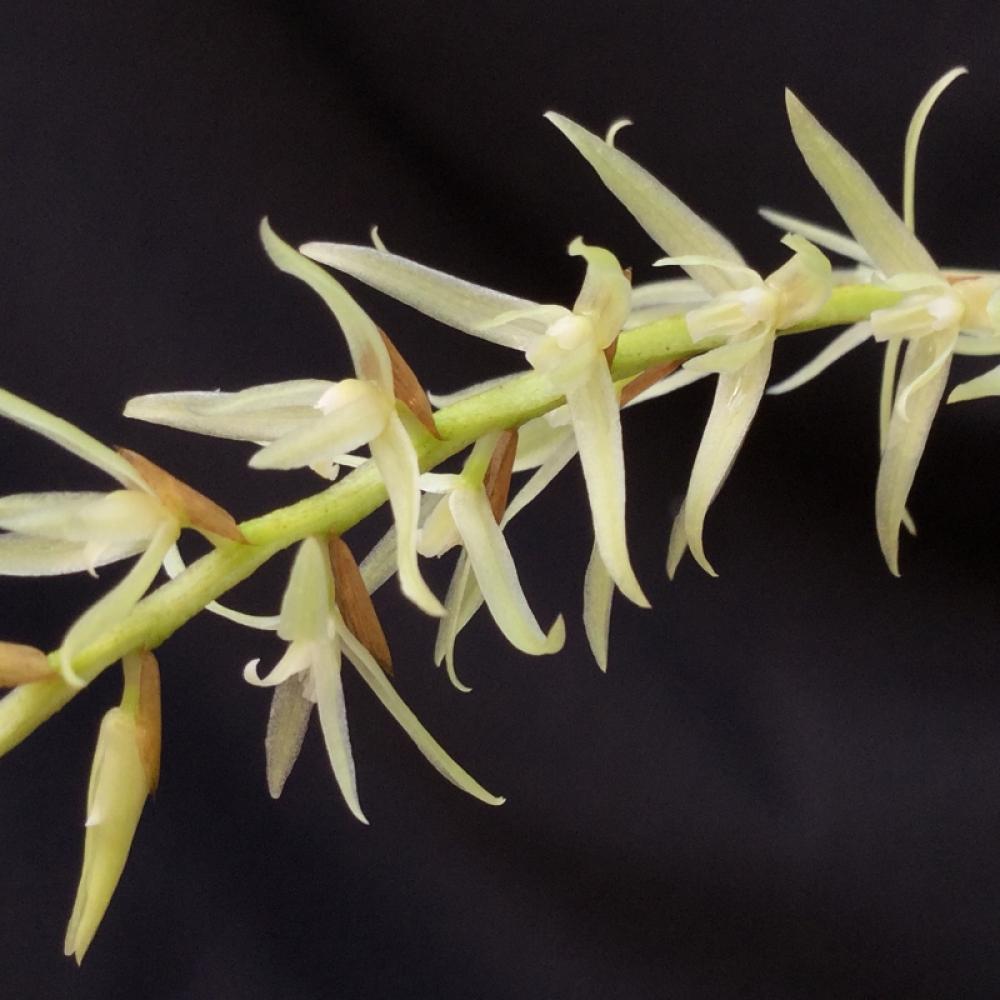 Dendrochilum yuccaiefolium