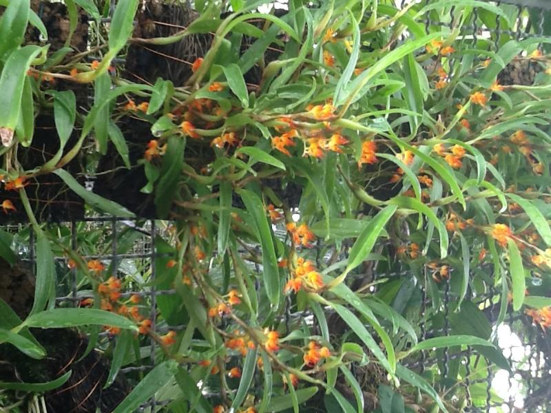 Bulbophyllum aff.smithianum ( sessile )(aufgebunden)