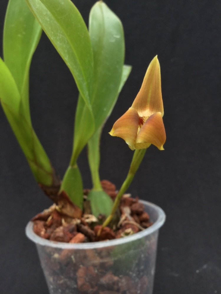 Trigonidium eggertonianum