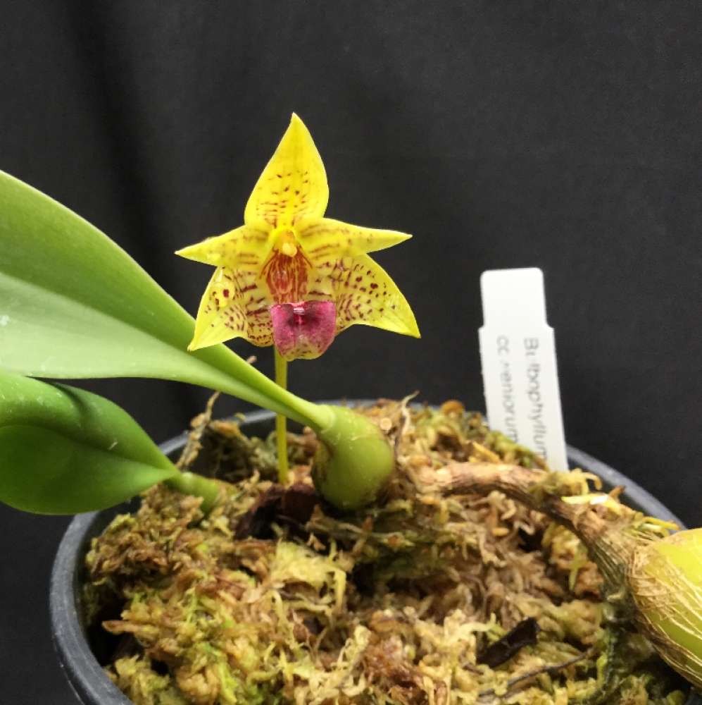 Bulbophyllum coweniorum