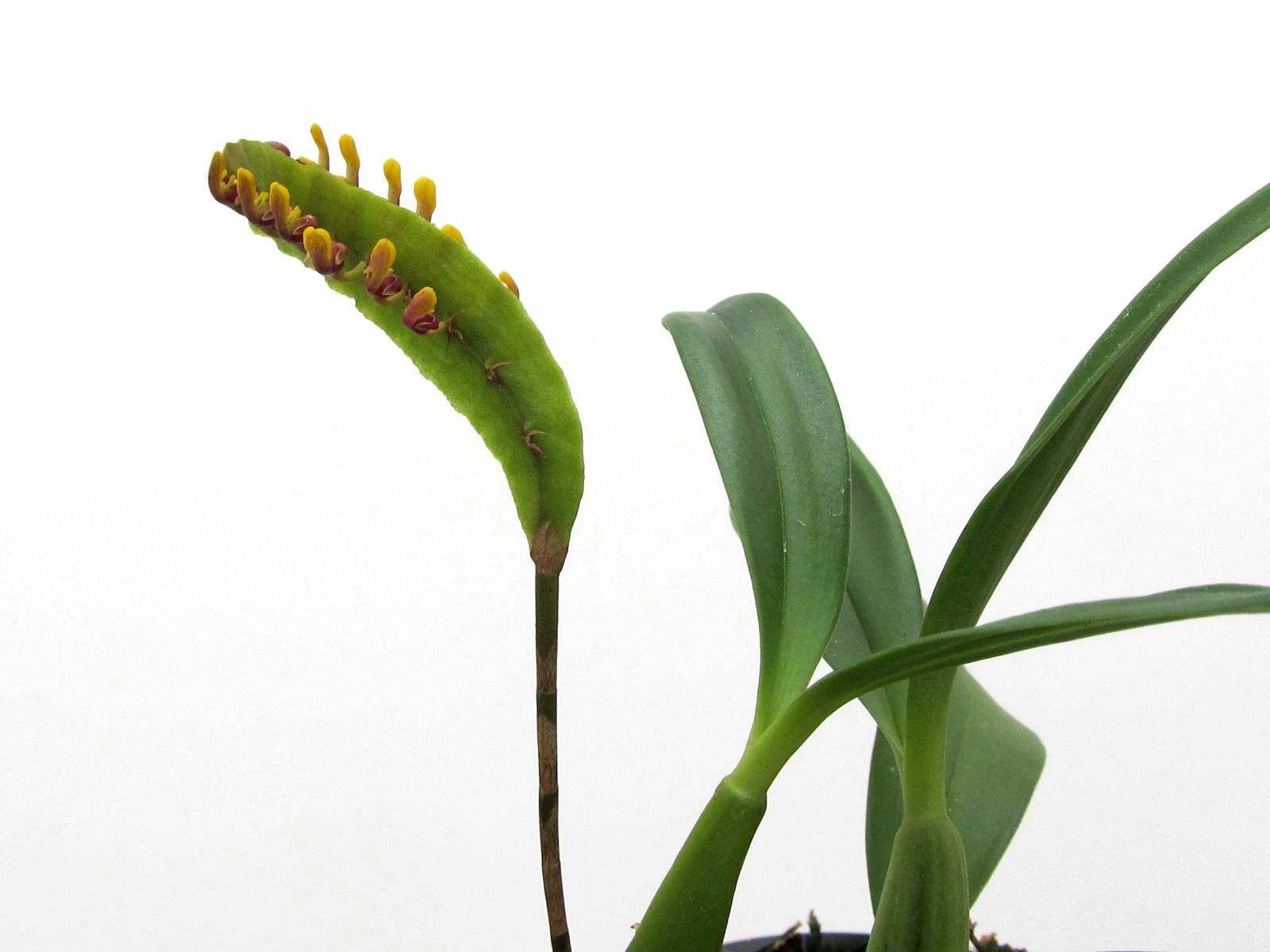 Bulbophyllum falcatum grün