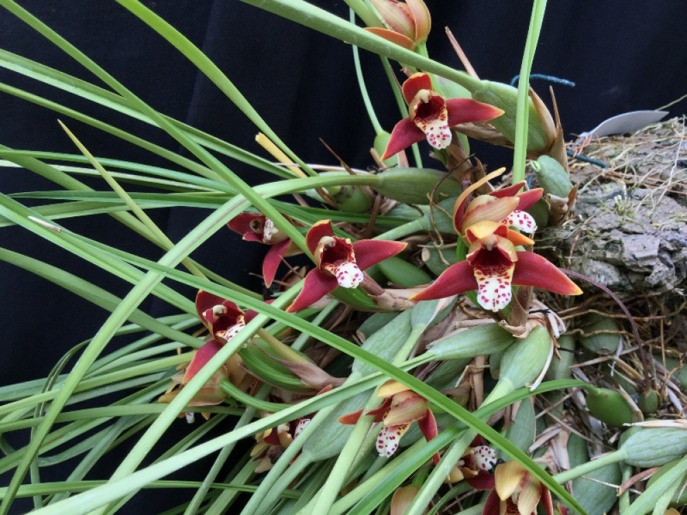 Maxillaria tenuifolia (Topf)