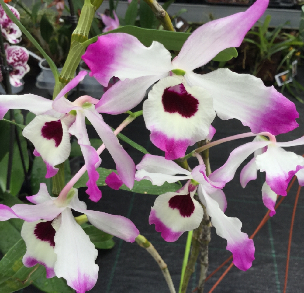 Dendrobium nobile var.cooksonianum